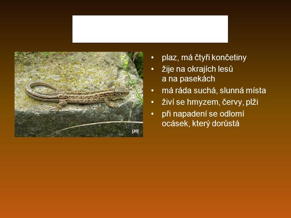 Ještěrka obecná plaz, má čtyři končetiny žije na okrajích lesů a na pasekách má ráda suchá, slunná místa živí se hmyzem, červy, plži při napadení se o