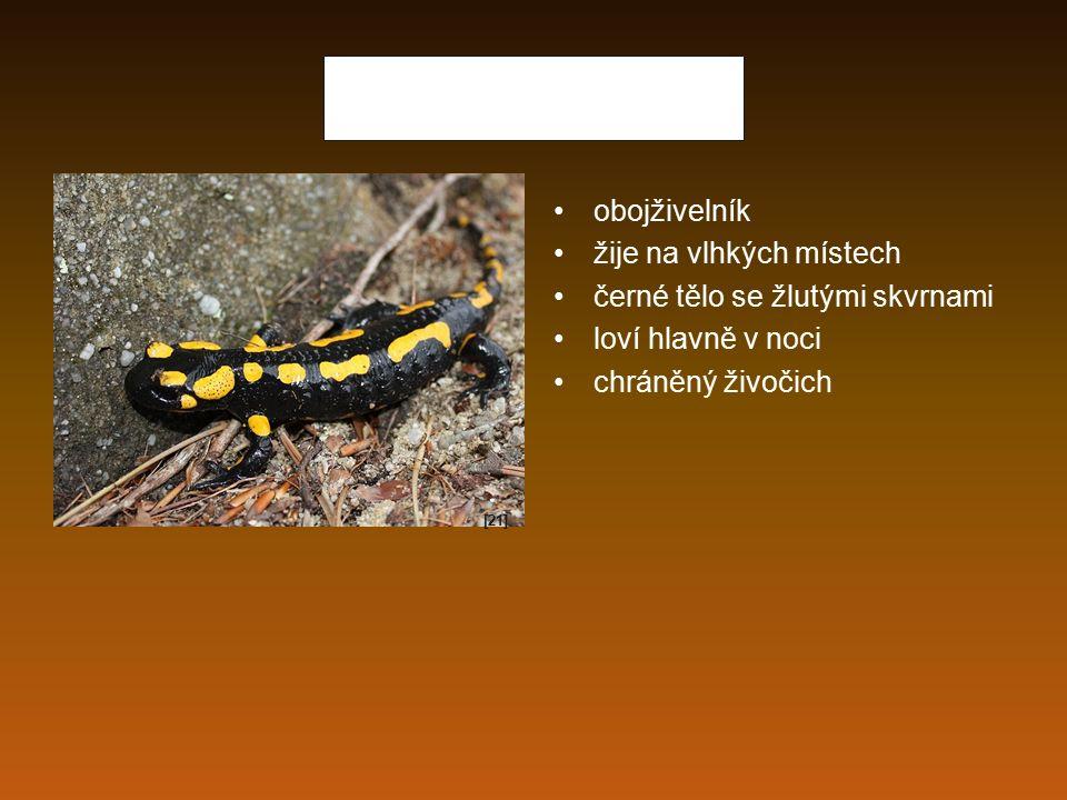 Mlok skvrnitý obojživelník žije na vlhkých místech černé tělo se žlutými skvrnami loví hlavně v noci chráněný živočich [21]