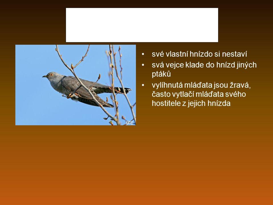 Kukačka obecná své vlastní hnízdo si nestaví svá vejce klade do hnízd jiných ptáků vylíhnutá mláďata jsou žravá, často vytlačí mláďata svého hostitele