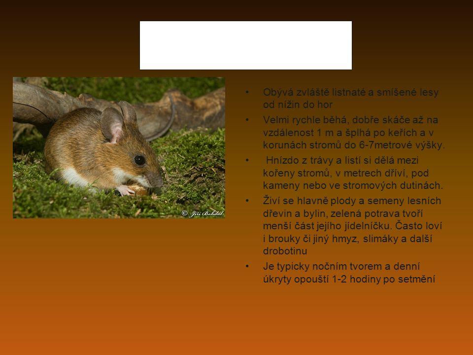 myšice lesní Obývá zvláště listnaté a smíšené lesy od nížin do hor Velmi rychle běhá, dobře skáče až na vzdálenost 1 m a šplhá po keřích a v korunách