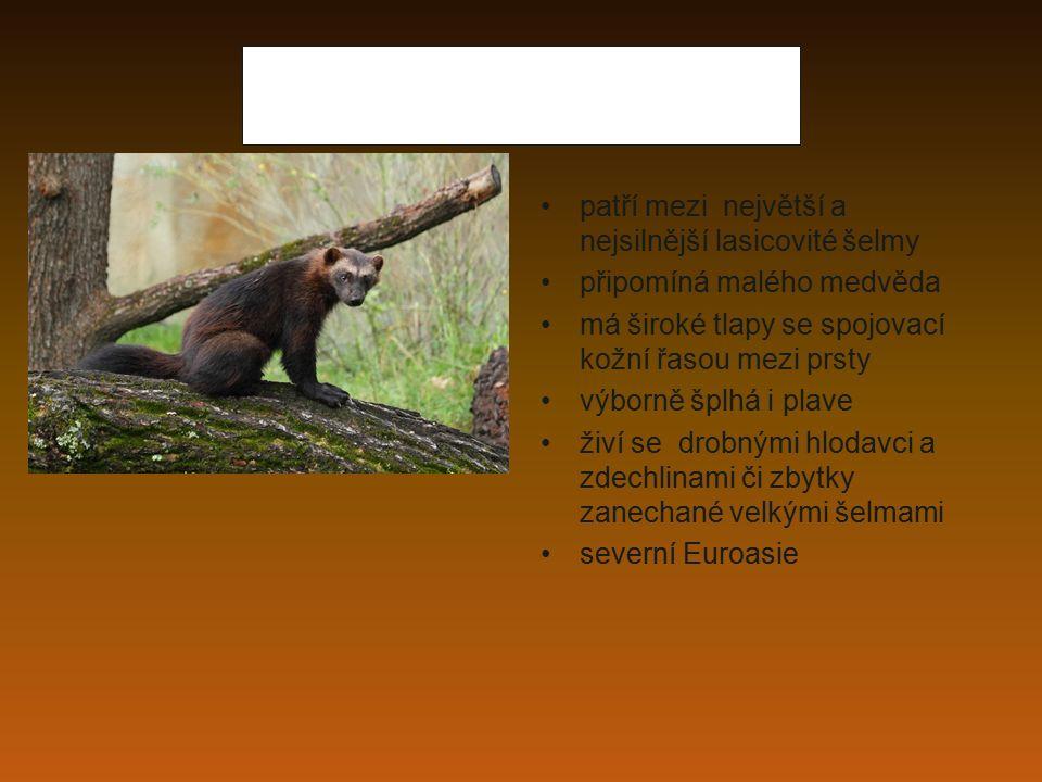 Rosomák sibiřský patří mezi největší a nejsilnější lasicovité šelmy připomíná malého medvěda má široké tlapy se spojovací kožní řasou mezi prsty výbor