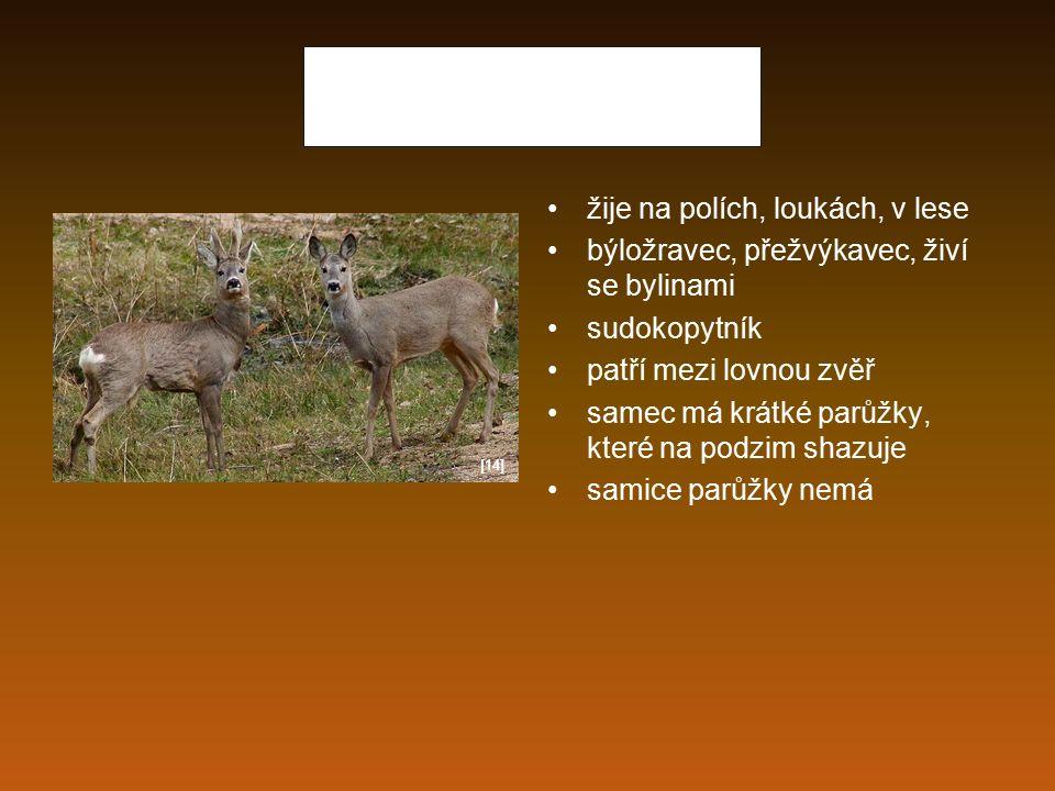 Srnec obecný žije na polích, loukách, v lese býložravec, přežvýkavec, živí se bylinami sudokopytník patří mezi lovnou zvěř samec má krátké parůžky, kt
