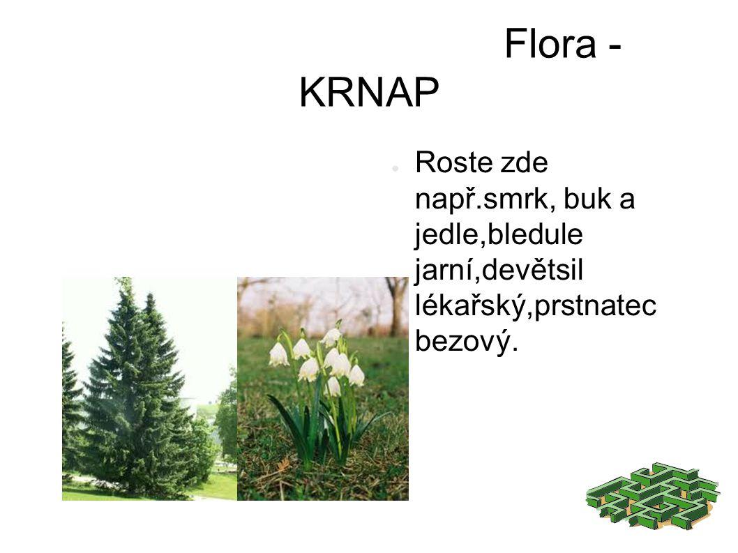 Flora - KRNAP ● Roste zde např.smrk, buk a jedle,bledule jarní,devětsil lékařský,prstnatec bezový.