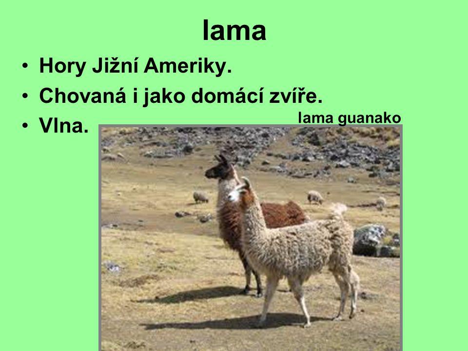 lama Hory Jižní Ameriky. Chovaná i jako domácí zvíře. Vlna. lama guanako