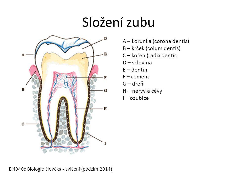 Složení zubu A – korunka (corona dentis) B – krček (colum dentis) C – kořen (radix dentis D – sklovina E – dentin F – cement G – dřeň H – nervy a cévy I – ozubice Bi4340c Biologie člověka - cvičení (podzim 2014)