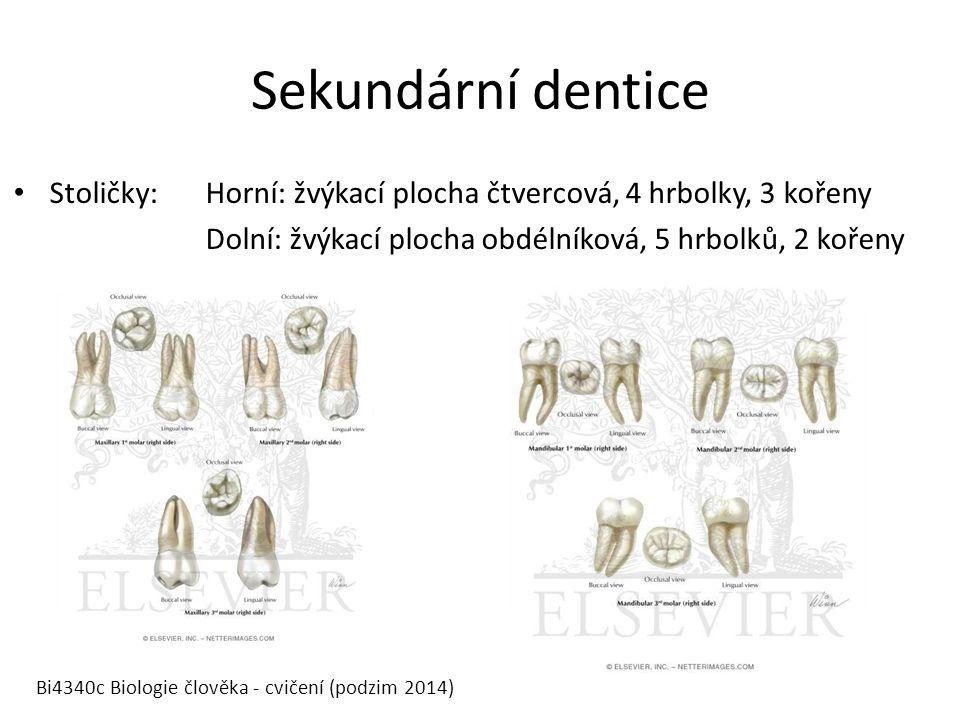 Sekundární dentice Stoličky:Horní: žvýkací plocha čtvercová, 4 hrbolky, 3 kořeny Dolní: žvýkací plocha obdélníková, 5 hrbolků, 2 kořeny Bi4340c Biologie člověka - cvičení (podzim 2014)
