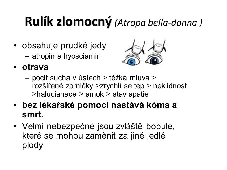 Rulík zlomocný Rulík zlomocný (Atropa bella-donna ) obsahuje prudké jedy –atropin a hyosciamin otrava –pocit sucha v ústech > těžká mluva > rozšířené zorničky >zrychlí se tep > neklidnost >halucianace > amok > stav apatie bez lékařské pomoci nastává kóma a smrt.