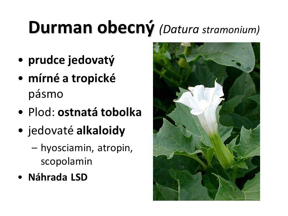 prudce jedovatý mírné a tropické pásmo Plod: ostnatá tobolka jedovaté alkaloidy –hyosciamin, atropin, scopolamin Náhrada LSD Durman obecný Durman obecný (Datura stramonium)