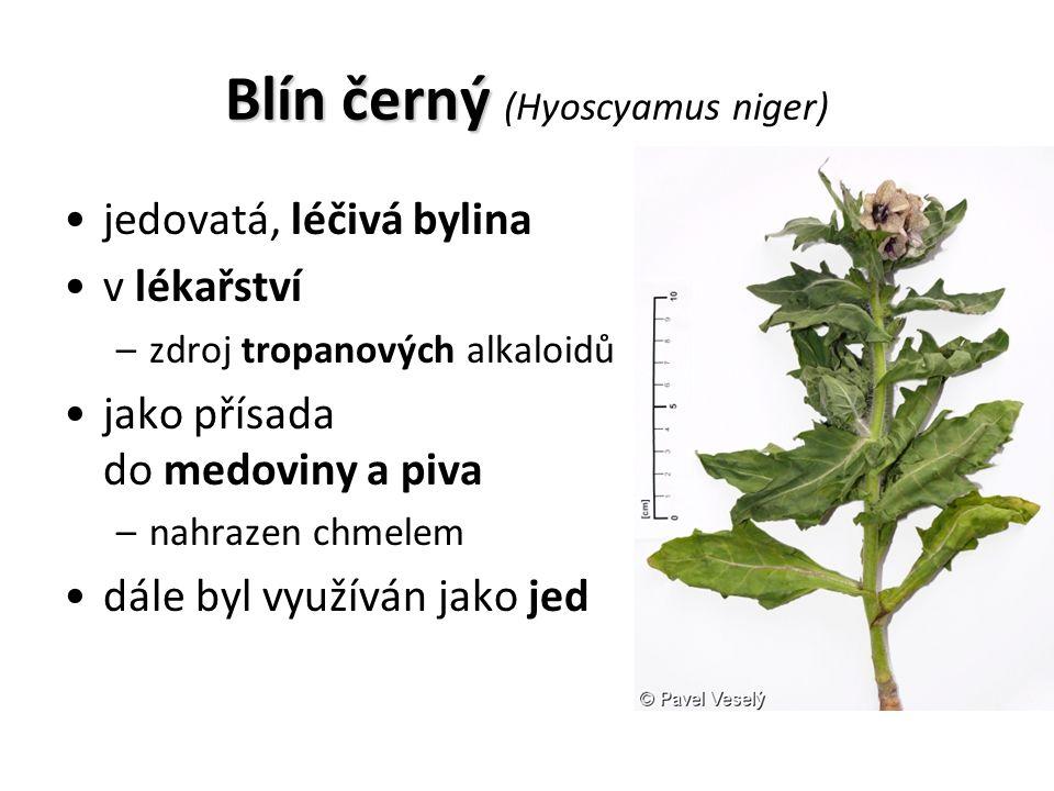 Blín černý Blín černý (Hyoscyamus niger) jedovatá, léčivá bylina v lékařství –zdroj tropanových alkaloidů jako přísada do medoviny a piva –nahrazen chmelem dále byl využíván jako jed