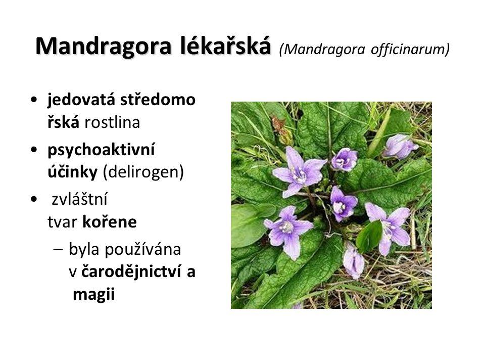 Mandragora lékařská Mandragora lékařská (Mandragora officinarum) jedovatá středomo řská rostlina psychoaktivní účinky (delirogen) zvláštní tvar kořene –byla používána v čarodějnictví a magii