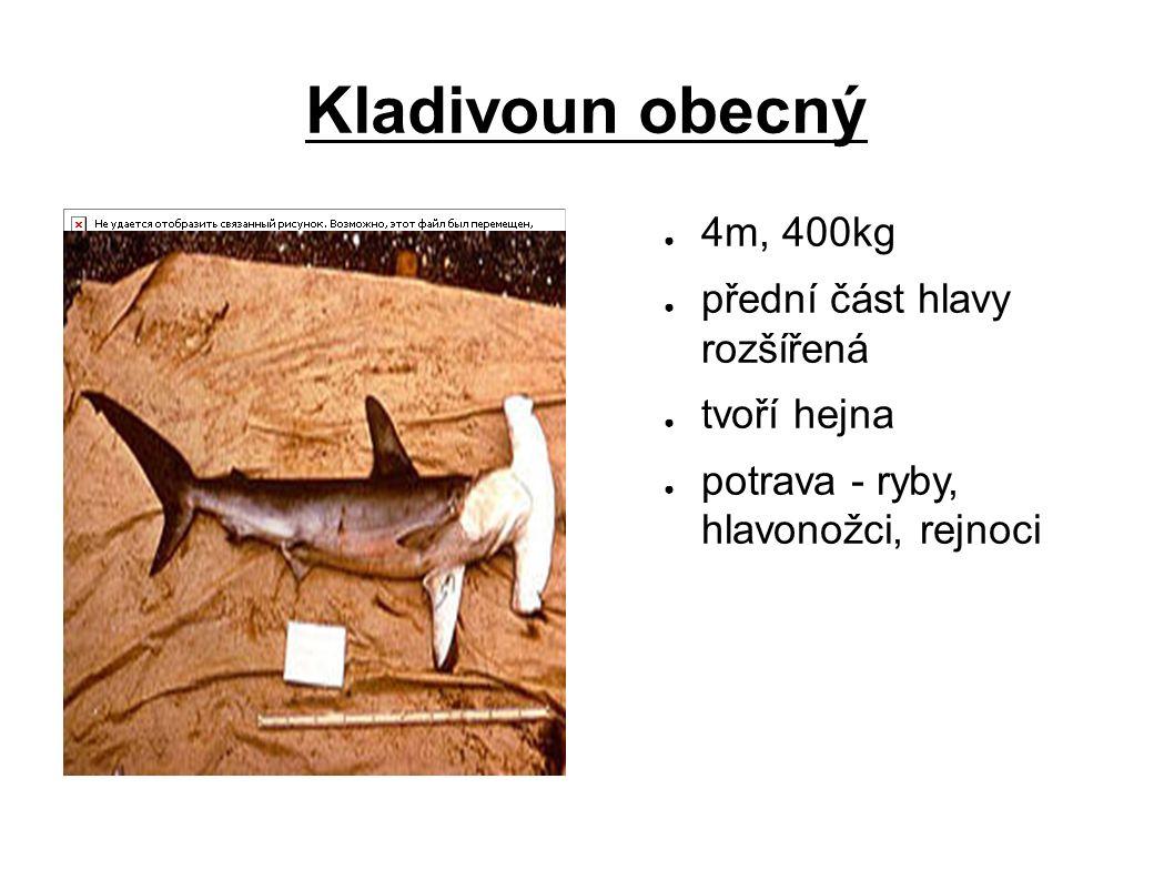 Kladivoun obecný ● 4m, 400kg ● přední část hlavy rozšířená ● tvoří hejna ● potrava - ryby, hlavonožci, rejnoci