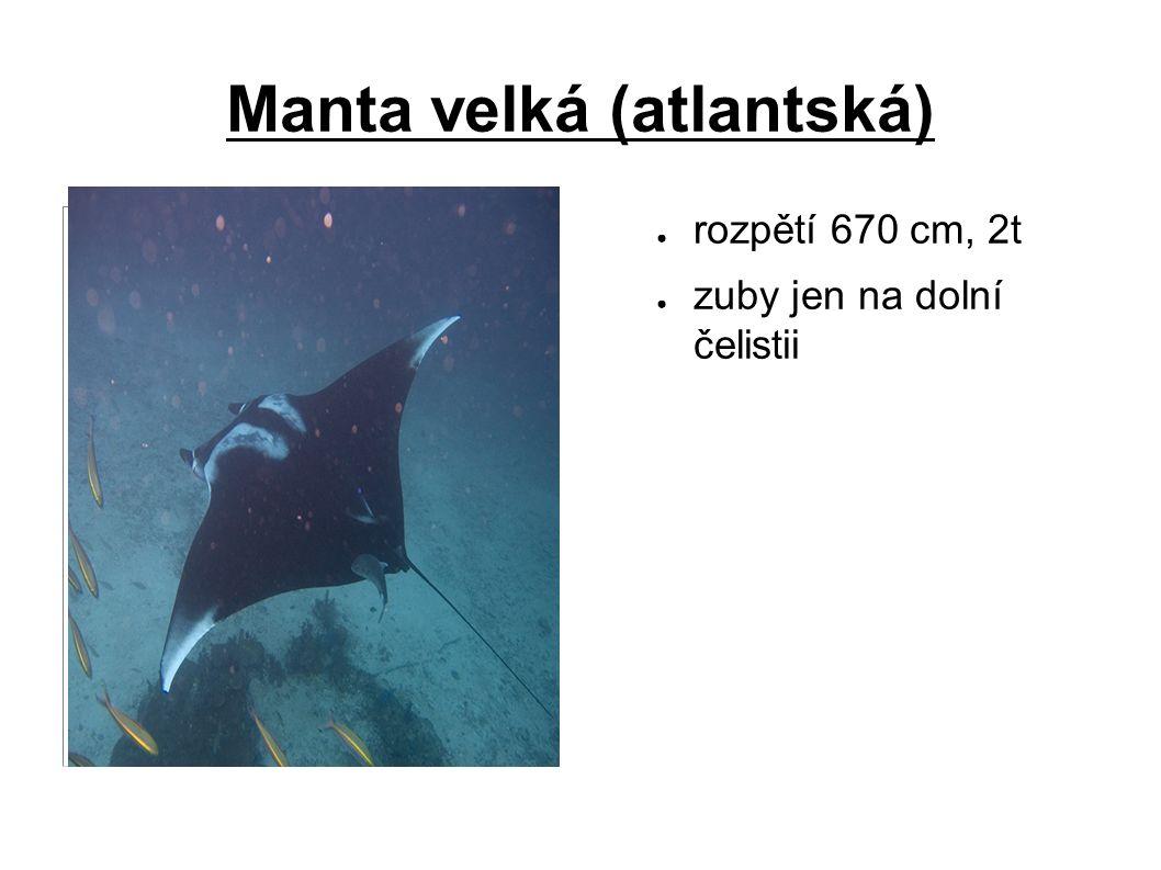 Manta velká (atlantská) ● rozpětí 670 cm, 2t ● zuby jen na dolní čelistii