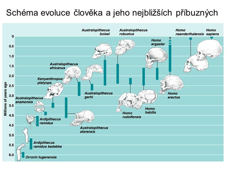 Schéma evoluce člověka a jeho nejbližších příbuzných
