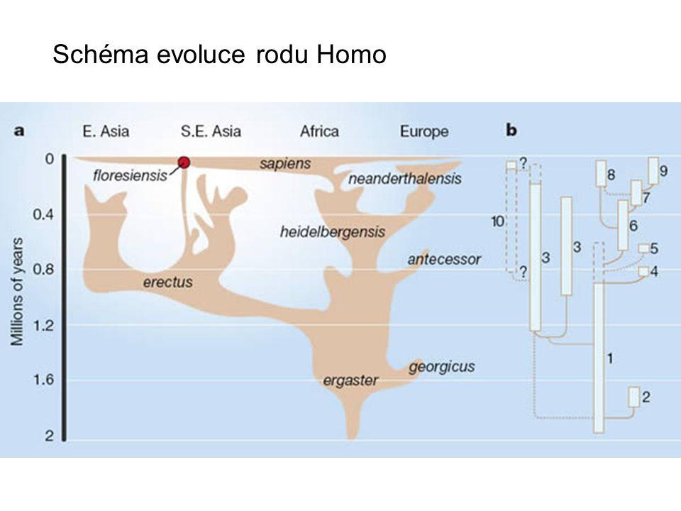 Schéma evoluce rodu Homo