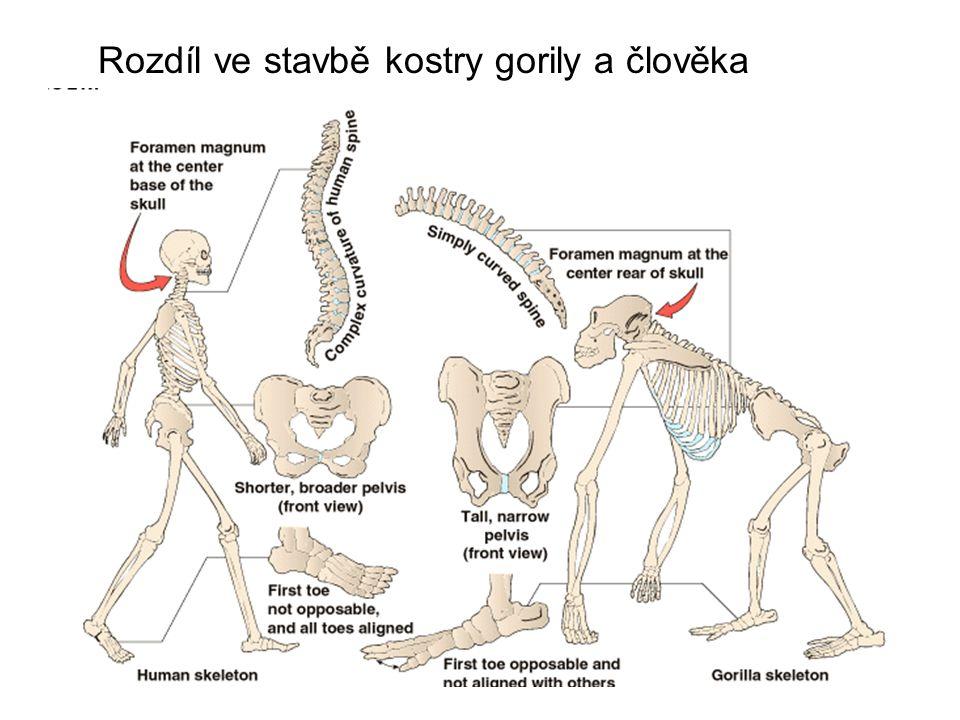 Rozdíl ve stavbě kostry gorily a člověka