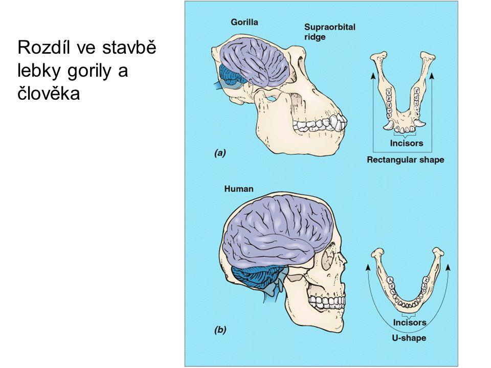Rozdíl ve stavbě lebky gorily a člověka