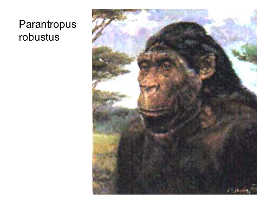 Parantropus robustus