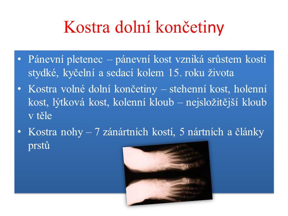 Kostra dolní končeti ny Pánevní pletenec – pánevní kost vzniká srůstem kosti stydké, kyčelní a sedací kolem 15. roku života Kostra volné dolní končeti