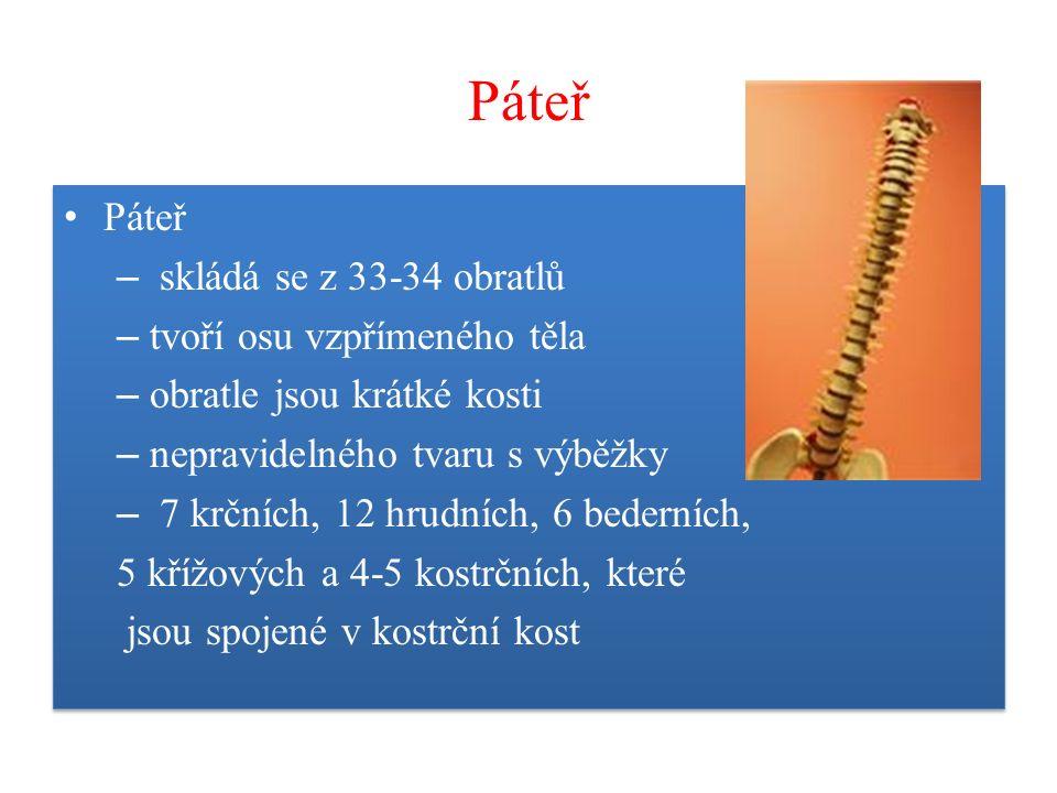 Páteř – skládá se z 33-34 obratlů – tvoří osu vzpřímeného těla – obratle jsou krátké kosti – nepravidelného tvaru s výběžky – 7 krčních, 12 hrudních,