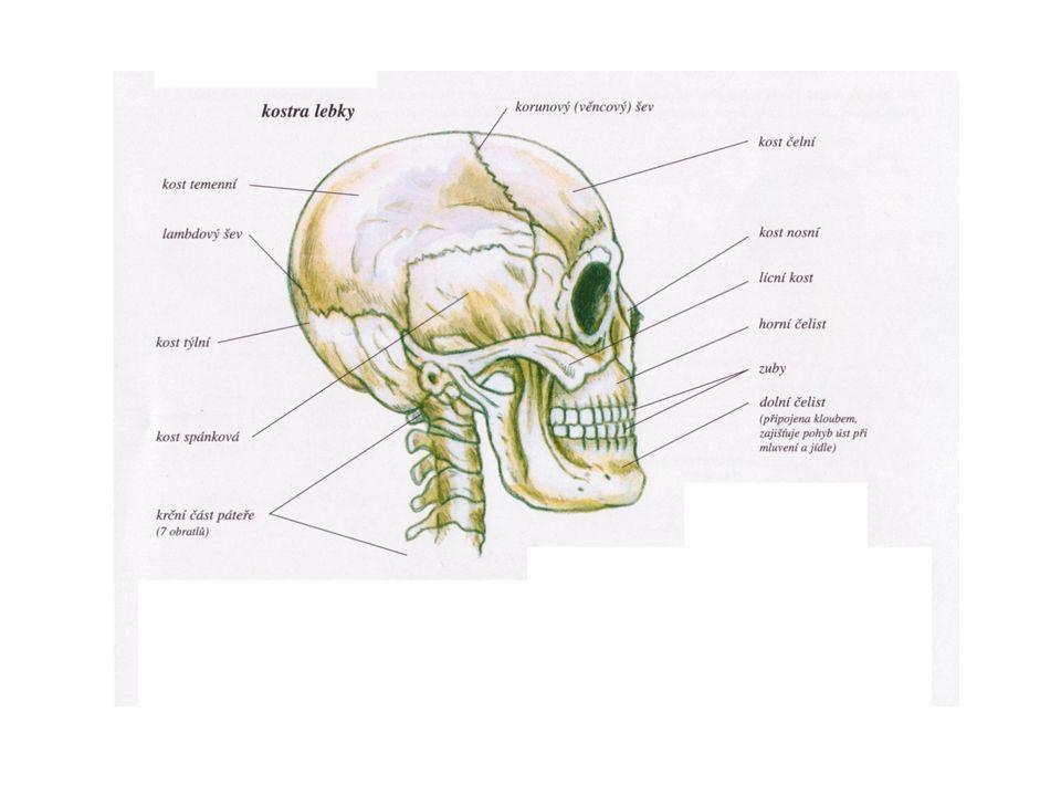 Lebka Mozková část lebky: Tvoří kostěné pouzdro mozku Kosti jsou většinou spojeny švy Spodina lebeční – kost čichová, klínová, spánková, týlní Klenba lebeční – kost čelní, dvě kosti temenní a kost týlní.