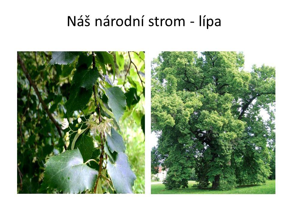 Náš národní strom - lípa