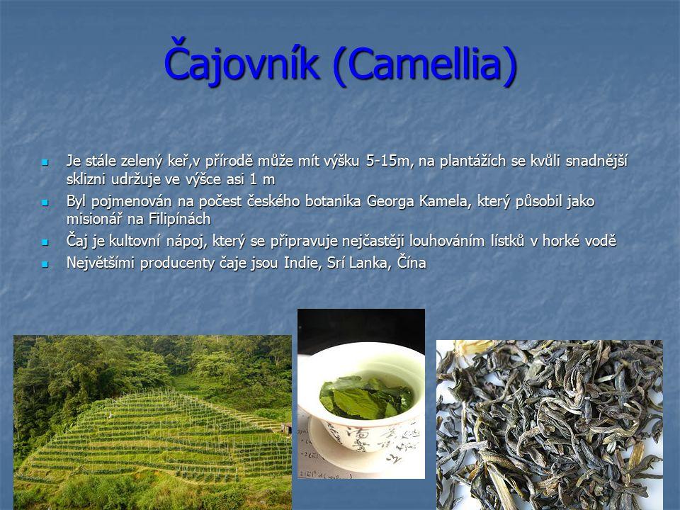 Čajovník (Camellia) Je stále zelený keř,v přírodě může mít výšku 5-15m, na plantážích se kvůli snadnější sklizni udržuje ve výšce asi 1 m Je stále zelený keř,v přírodě může mít výšku 5-15m, na plantážích se kvůli snadnější sklizni udržuje ve výšce asi 1 m Byl pojmenován na počest českého botanika Georga Kamela, který působil jako misionář na Filipínách Byl pojmenován na počest českého botanika Georga Kamela, který působil jako misionář na Filipínách Čaj je kultovní nápoj, který se připravuje nejčastěji louhováním lístků v horké vodě Čaj je kultovní nápoj, který se připravuje nejčastěji louhováním lístků v horké vodě Největšími producenty čaje jsou Indie, Srí Lanka, Čína Největšími producenty čaje jsou Indie, Srí Lanka, Čína