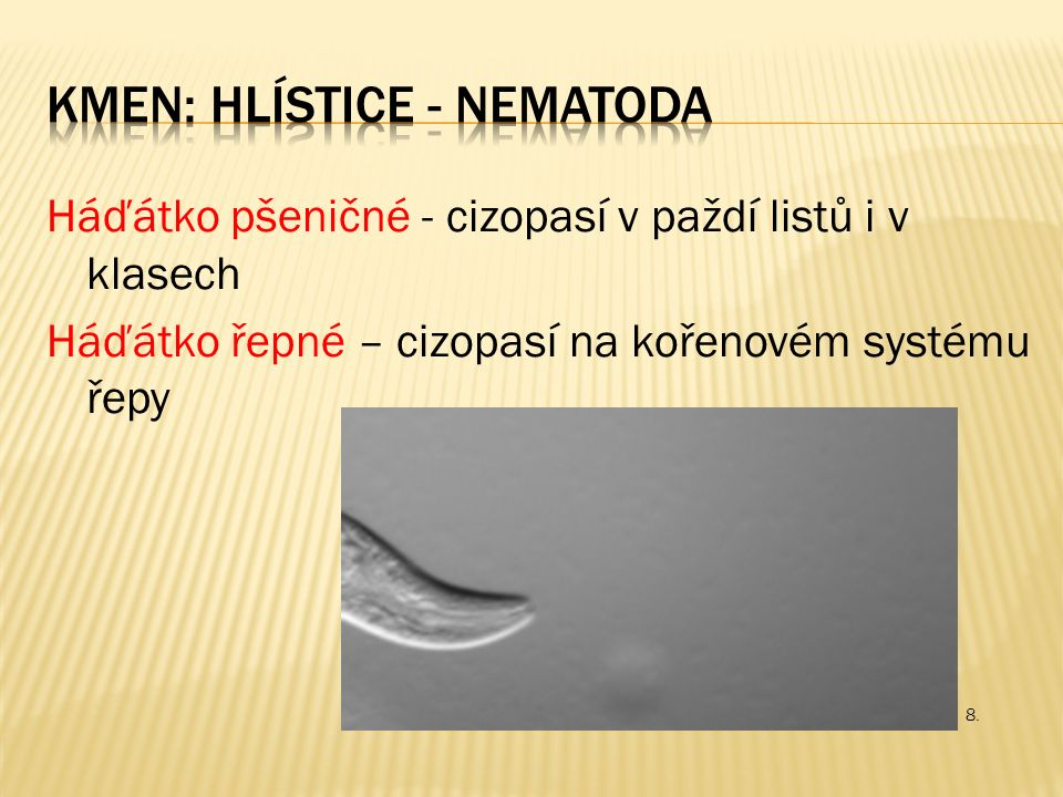 Háďátko pšeničné - cizopasí v paždí listů i v klasech Háďátko řepné – cizopasí na kořenovém systému řepy 8.