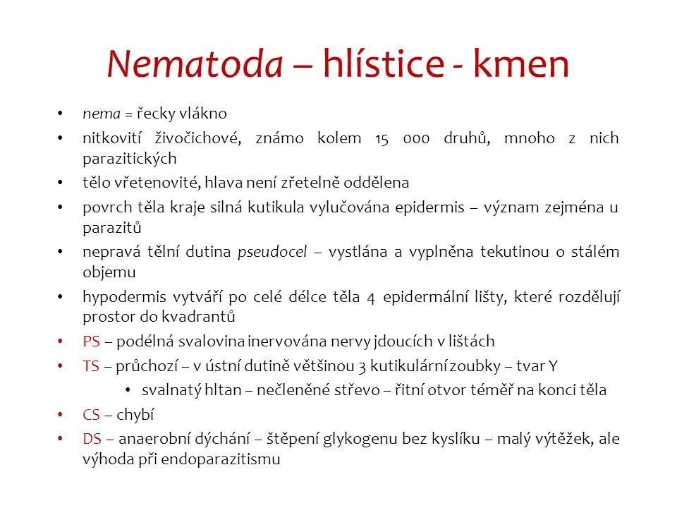 Nematoda – hlístice - kmen nema = řecky vlákno nitkovití živočichové, známo kolem 15 000 druhů, mnoho z nich parazitických tělo vřetenovité, hlava nen