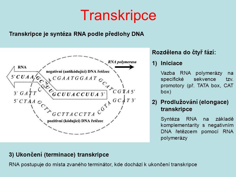 Transkripce Transkripce je syntéza RNA podle předlohy DNA Rozdělena do čtyř fází: 1)Iniciace Vazba RNA polymerázy na specifické sekvence tzv. promotor