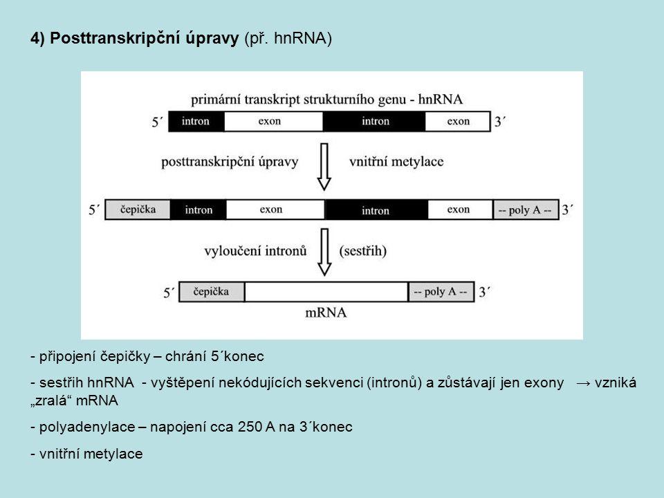 """- připojení čepičky – chrání 5´konec - sestřih hnRNA - vyštěpení nekódujících sekvenci (intronů) a zůstávají jen exony → vzniká """"zralá"""" mRNA - polyade"""
