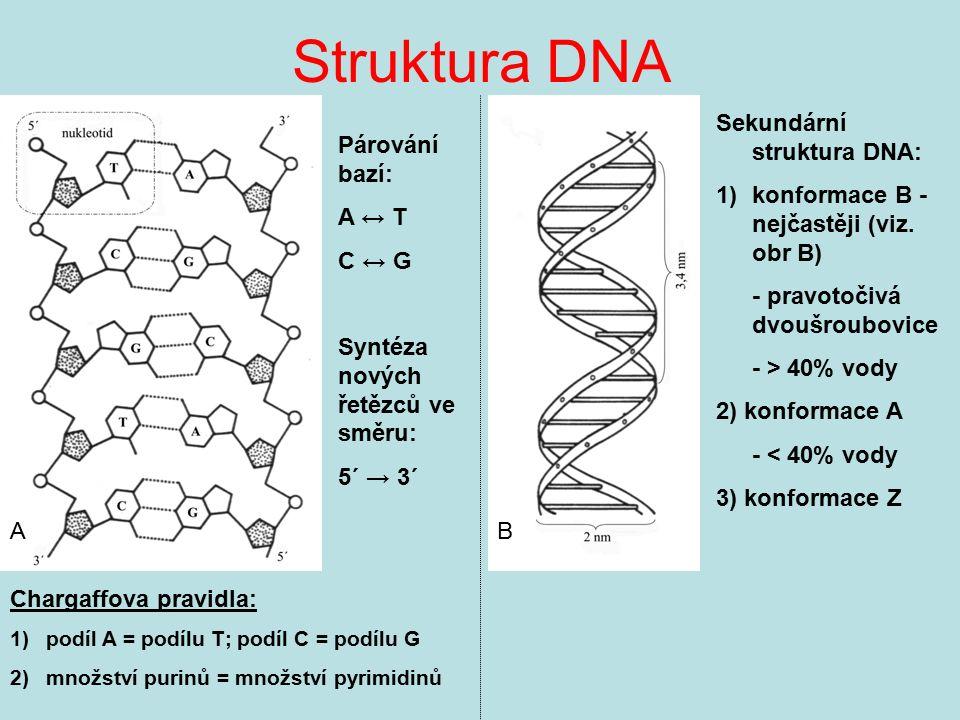 Struktura DNA Chargaffova pravidla: 1)podíl A = podílu T; podíl C = podílu G 2)množství purinů = množství pyrimidinů Párování bazí: A ↔ T C ↔ G Syntéz