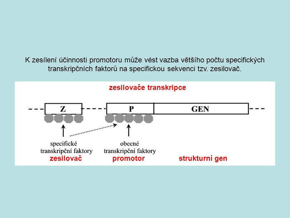 zesilovač promotor strukturní gen zesilovače transkripce K zesílení účinnosti promotoru může vést vazba většího počtu specifických transkripčních fakt