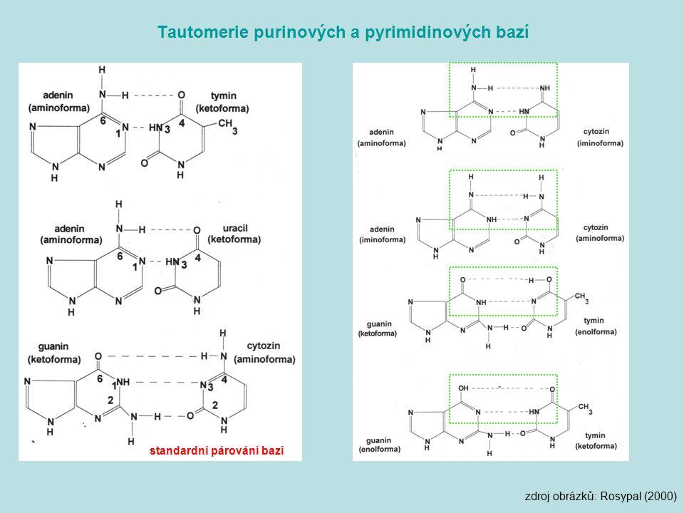 Tautomerie purinových a pyrimidinových bazí standardní párování bazí zdroj obrázků: Rosypal (2000)