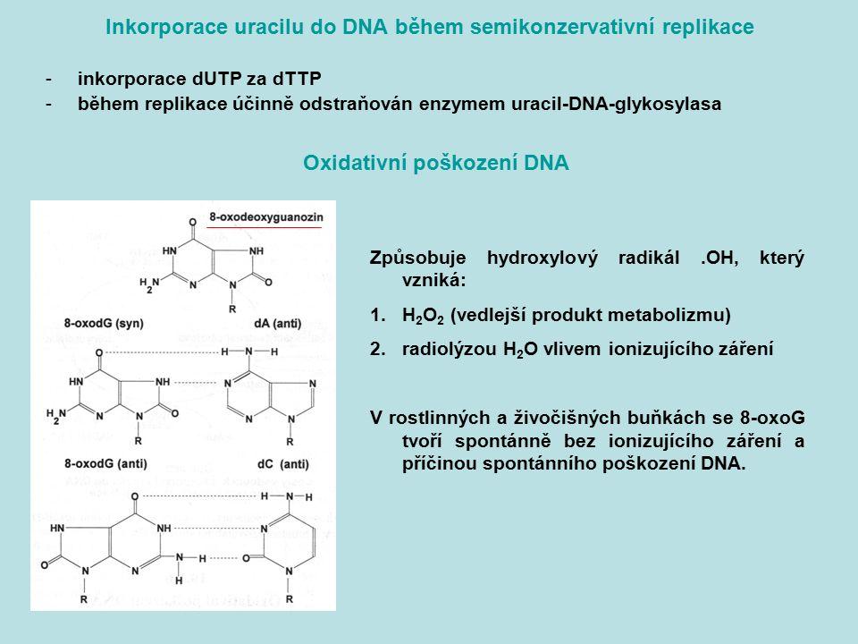 Inkorporace uracilu do DNA během semikonzervativní replikace -inkorporace dUTP za dTTP -během replikace účinně odstraňován enzymem uracil-DNA-glykosyl