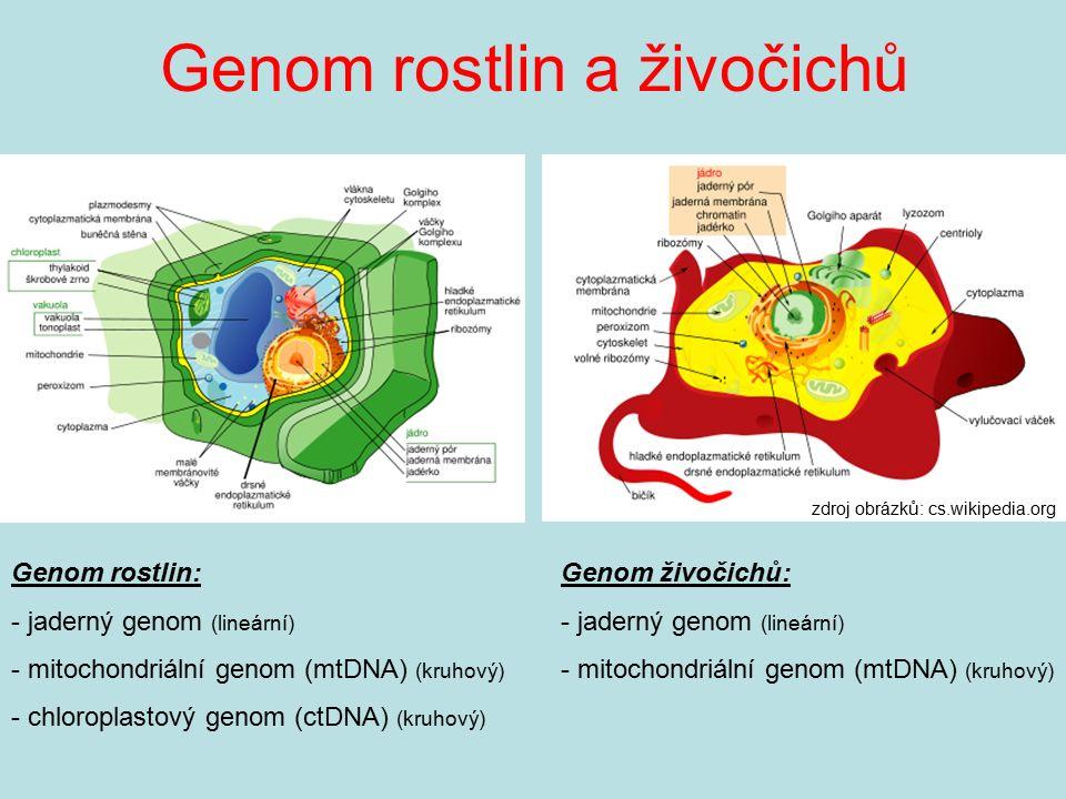 Genom rostlin a živočichů zdroj obrázků: cs.wikipedia.org Genom rostlin: - jaderný genom (lineární) - mitochondriální genom (mtDNA) (kruhový) - chloro