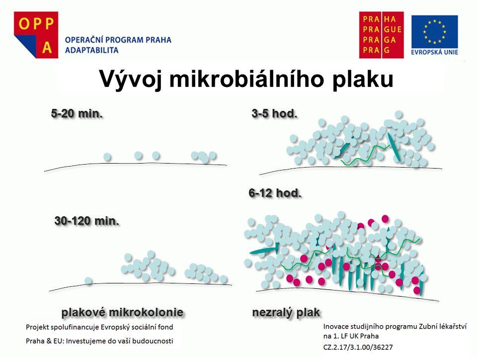 Vývoj mikrobiálního plaku 5-20 min. 30-120 min. 3-5 hod. 6-12 hod. plakové mikrokolonienezralý plak