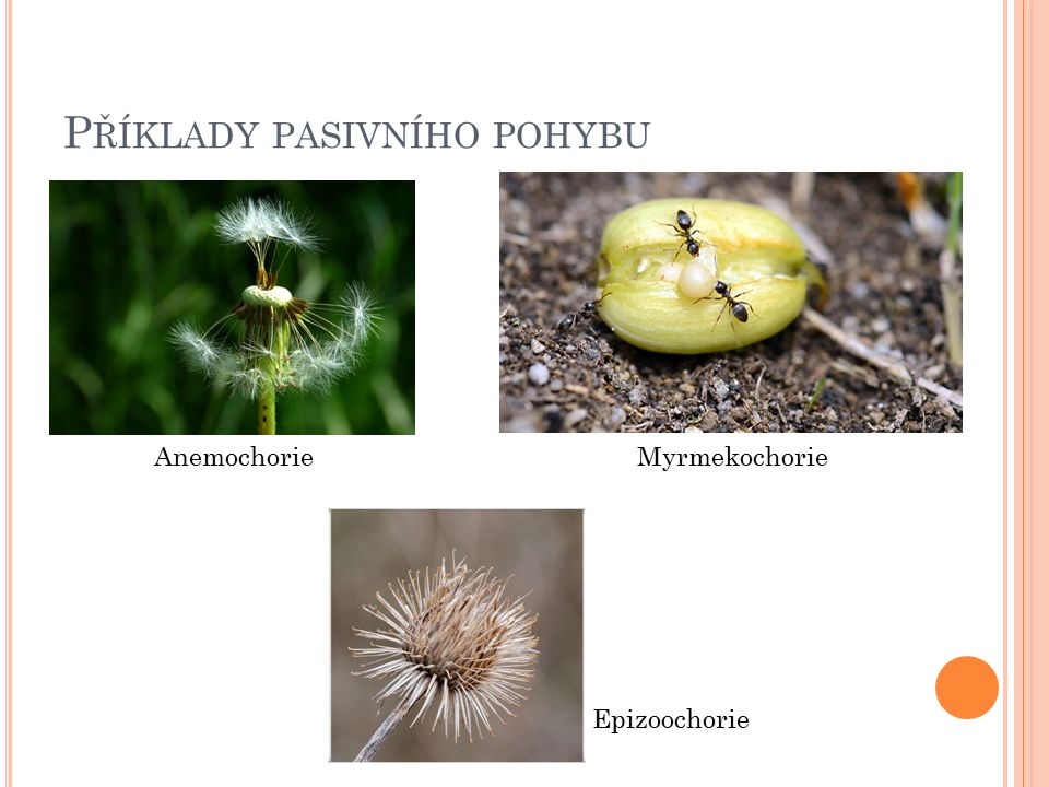 V ÝVOJ ROSTLIN Kvalitativní změna 1.embryonální fáze (od zygoty k dozrání semene) 2.