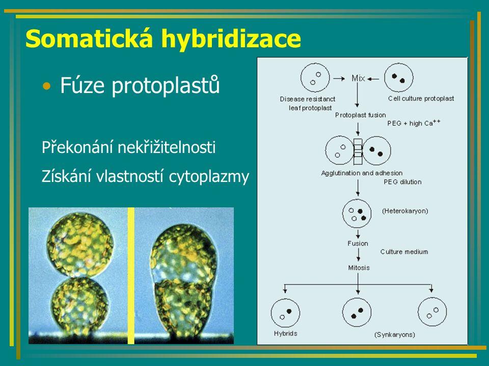 Somatická hybridizace Fúze protoplastů Překonání nekřižitelnosti Získání vlastností cytoplazmy