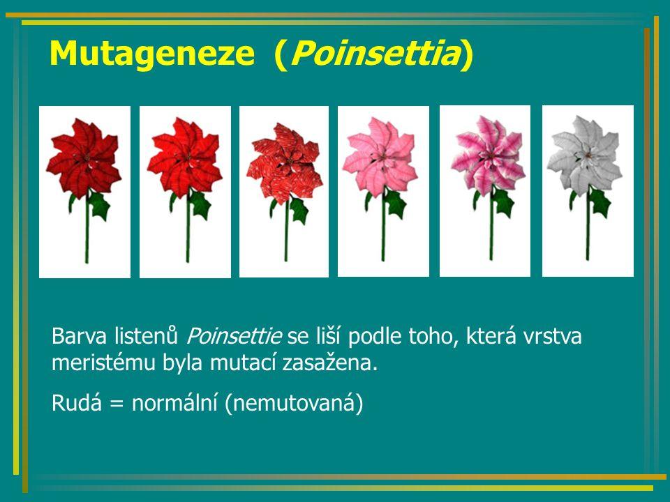 Mutageneze (Poinsettia) Barva listenů Poinsettie se liší podle toho, která vrstva meristému byla mutací zasažena. Rudá = normální (nemutovaná)