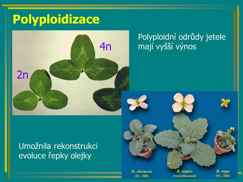 Polyploidizace 2n 4n Polyploidní odrůdy jetele mají vyšší výnos Umožnila rekonstrukci evoluce řepky olejky
