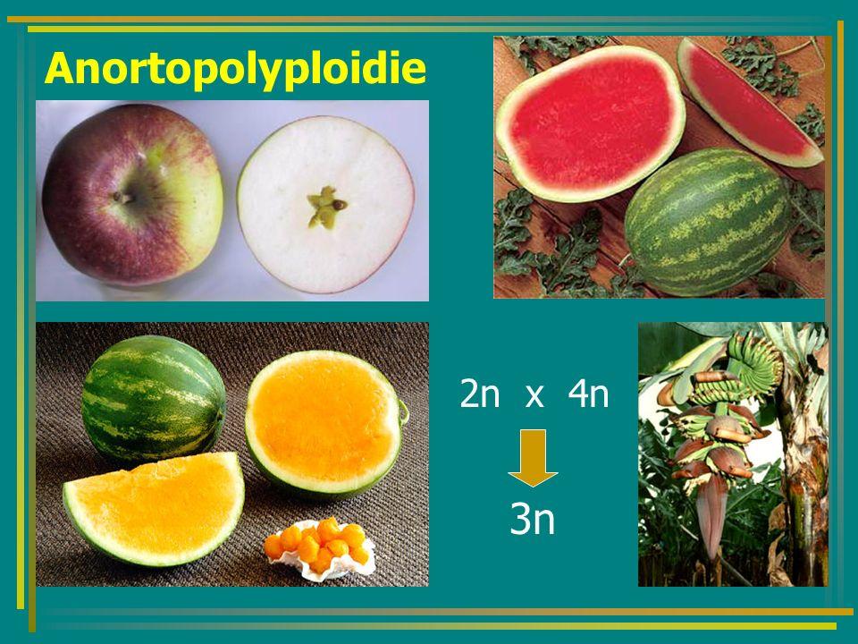 Anortopolyploidie 2n x 4n 3n