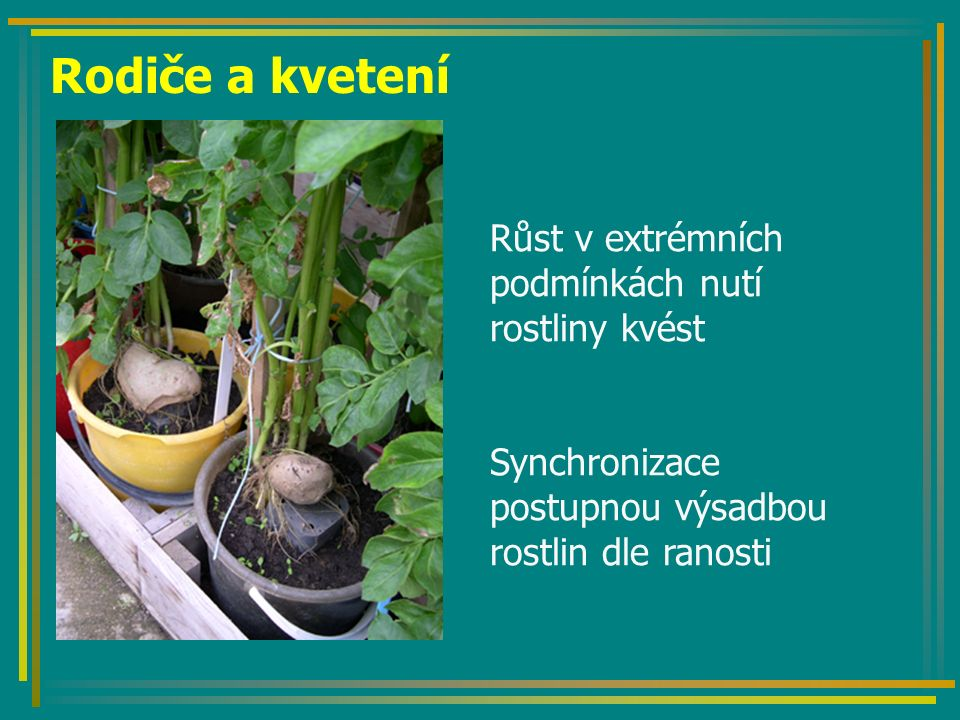 Rodiče a kvetení Růst v extrémních podmínkách nutí rostliny kvést Synchronizace postupnou výsadbou rostlin dle ranosti