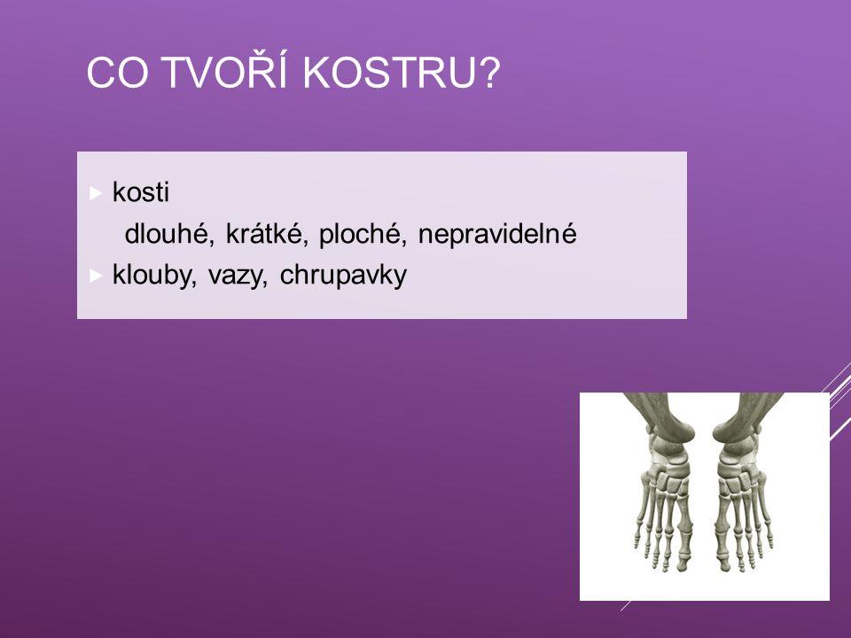 CO TVOŘÍ KOSTRU?  kosti dlouhé, krátké, ploché, nepravidelné  klouby, vazy, chrupavky