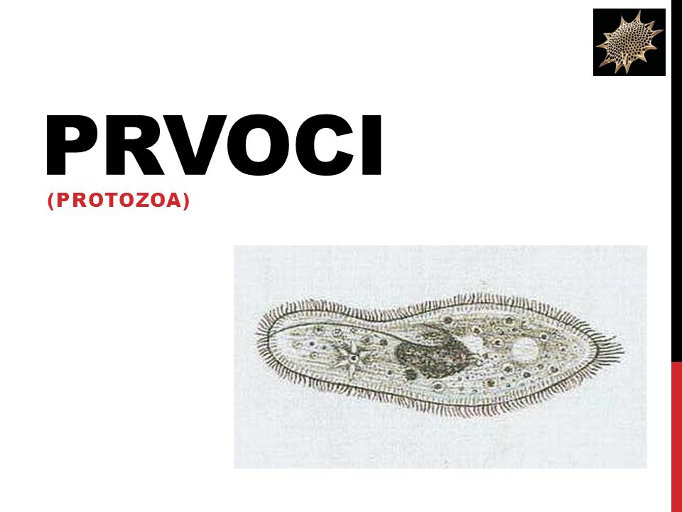 PRVOCI (PROTOZOA)