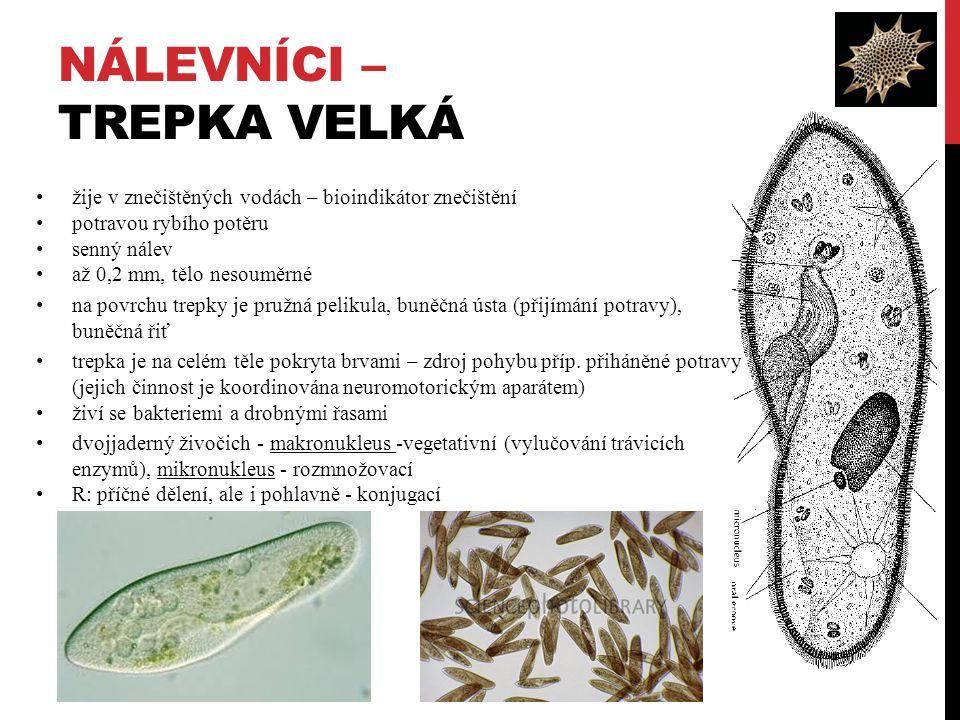 NÁLEVNÍCI – TREPKA VELKÁ žije v znečištěných vodách – bioindikátor znečištění potravou rybího potěru senný nálev až 0,2 mm, tělo nesouměrné na povrchu trepky je pružná pelikula, buněčná ústa (přijímání potravy), buněčná řiť trepka je na celém těle pokryta brvami – zdroj pohybu příp.