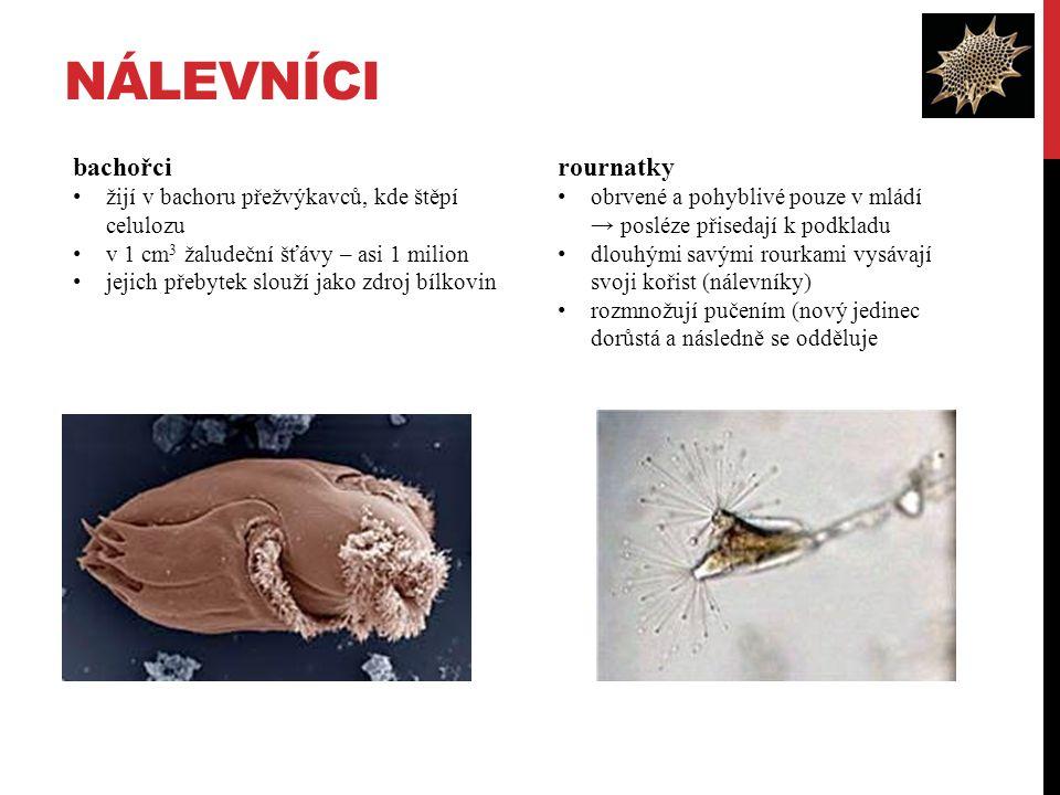 NÁLEVNÍCI rournatky obrvené a pohyblivé pouze v mládí → posléze přisedají k podkladu dlouhými savými rourkami vysávají svoji kořist (nálevníky) rozmnožují pučením (nový jedinec dorůstá a následně se odděluje bachořci žijí v bachoru přežvýkavců, kde štěpí celulozu v 1 cm 3 žaludeční šťávy – asi 1 milion jejich přebytek slouží jako zdroj bílkovin