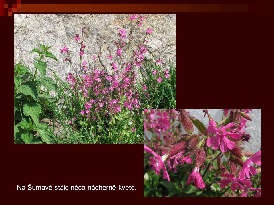 Na Šumavě stále něco nádherně kvete.