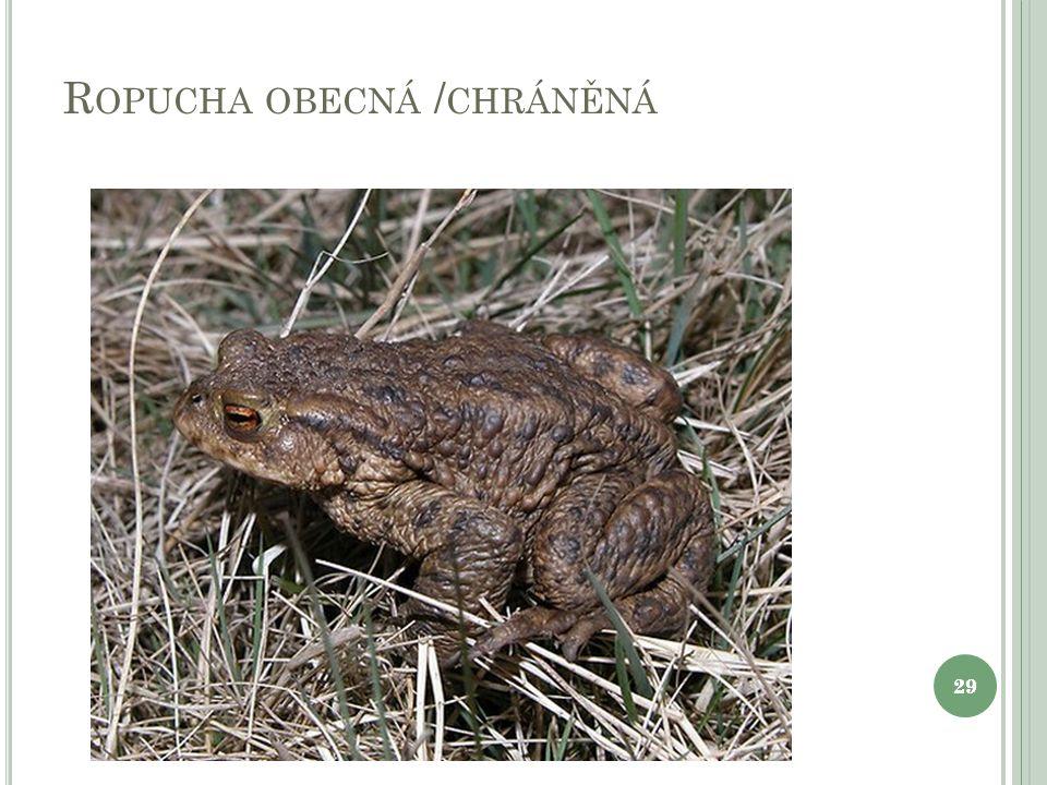 R OPUCHA OBECNÁ / CHRÁNĚNÁ 29