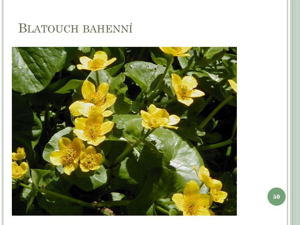 B LATOUCH BAHENNÍ 50