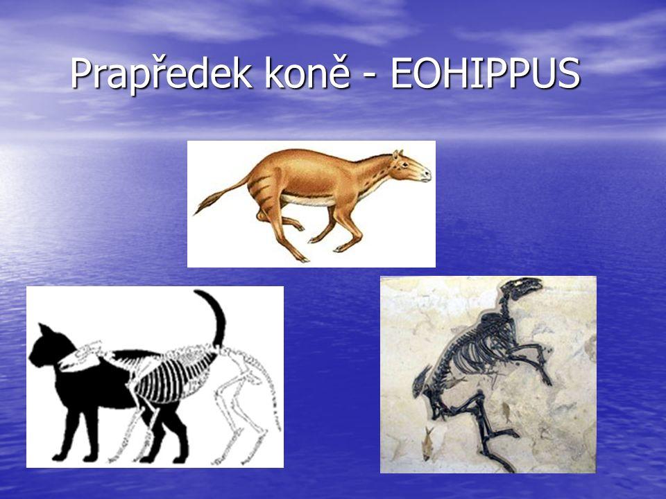 Prapředek koně - EOHIPPUS
